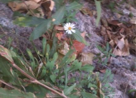 single late season flower