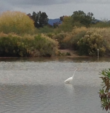 You should see one of these Egrets in flight!