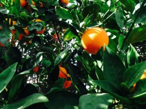 Those pretty orange globes hanging on the tree make for a cheerful sight.