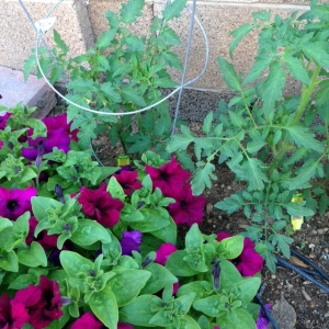 Tomato plants. (These have some petunias nearby for a dash of color and interest.)