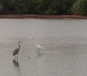 A Heron and an Egret passing like two ships in the night.