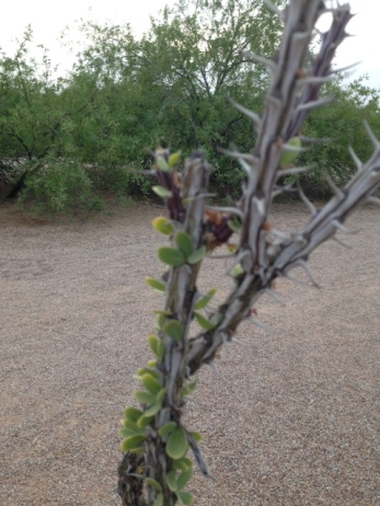 Ocotillo with leaves. A rare sighting. Usually these just look like dead spiny sticks.