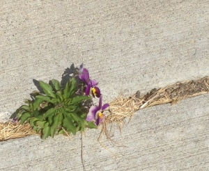 Some violas growing in a sidewalk crack. Amazing what nature can do when obstacles are in the way.