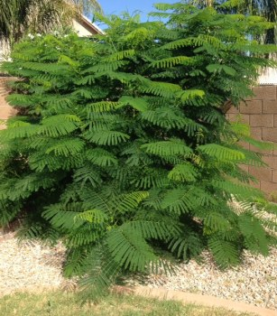 My Poinciana tree.
