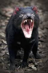 tasmanian devil real