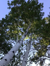 Quaking Aspen. I like to think of it as a family tree.