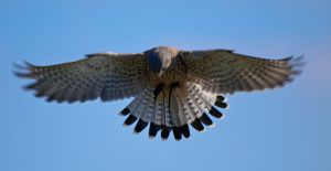 By William Warby (originally posted to Flickr as Hovering Kestrel) [CC BY 2.0 (http://creativecommons.org/licenses/by/2.0)], via Wikimedia Commons