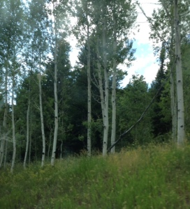 A stand of Quaking Aspen trees. My favorites.