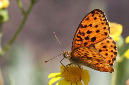 640px-marbled_fritillary_28brenthis_daphne29